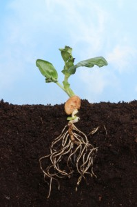 Sectional view of a newly germinated plant seedling in soil showing the root structure below ground and fresh new leaves against a blue sky